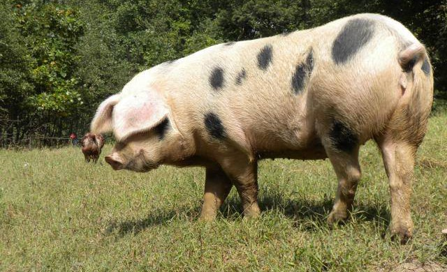GOS – GLOUCESTERSHIRE OLD SPOTS PIGS