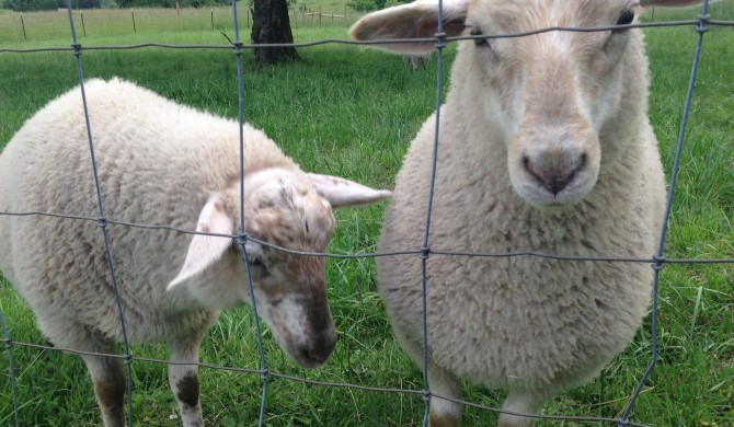 Welcome Whidbey Island Sheep
