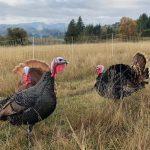Heritage Turkeys 2018